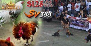 Ayam Adu Sv388